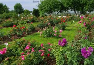розы в пылтсамаа